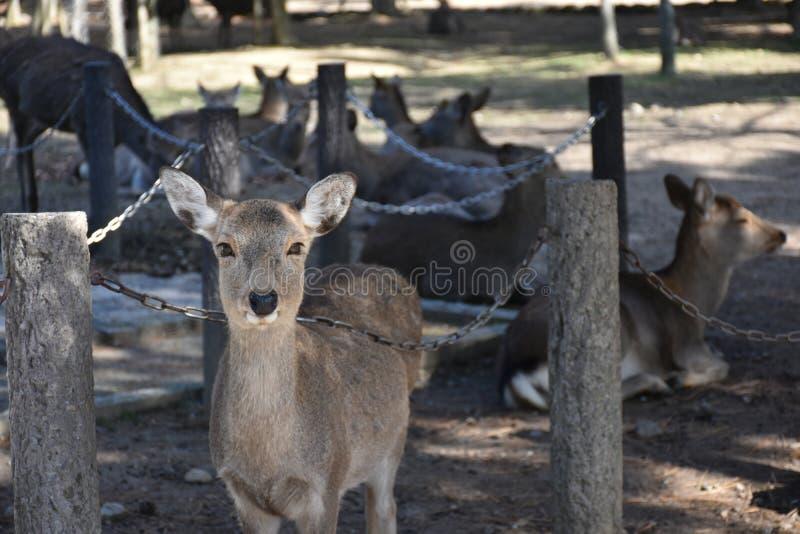 Deers zonder hoorn in Nara, Japan stock afbeeldingen