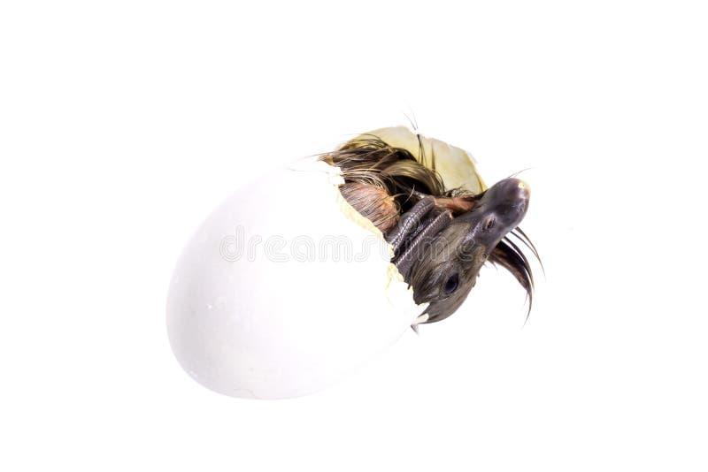 Defärgade ankungarna, som kommer ut ur ägget, är nya arkivfoton