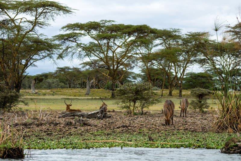 Defassa Water bucks se aferra al lago naivasha/nakuru foto de archivo libre de regalías