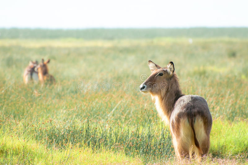 Defassa Waterbuck. A male Defassa Waterbuck stand and waits, while others has already run off into the distance stock images