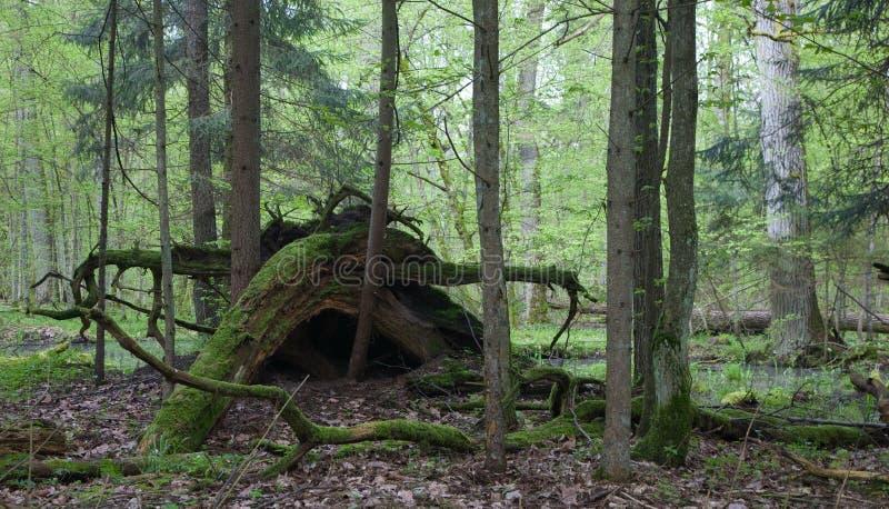 Defekte Baumwurzeln sanken teils gegen Waldhintergrund lizenzfreie stockfotografie