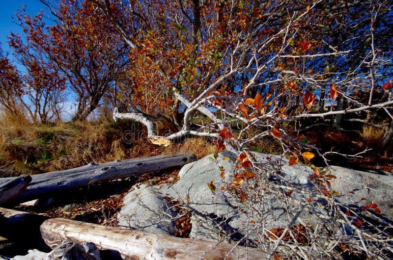 Defektes Glied des Baums im Fall färbt das Lehnen auf den Strand am Vieh zeigen, BC stockbild