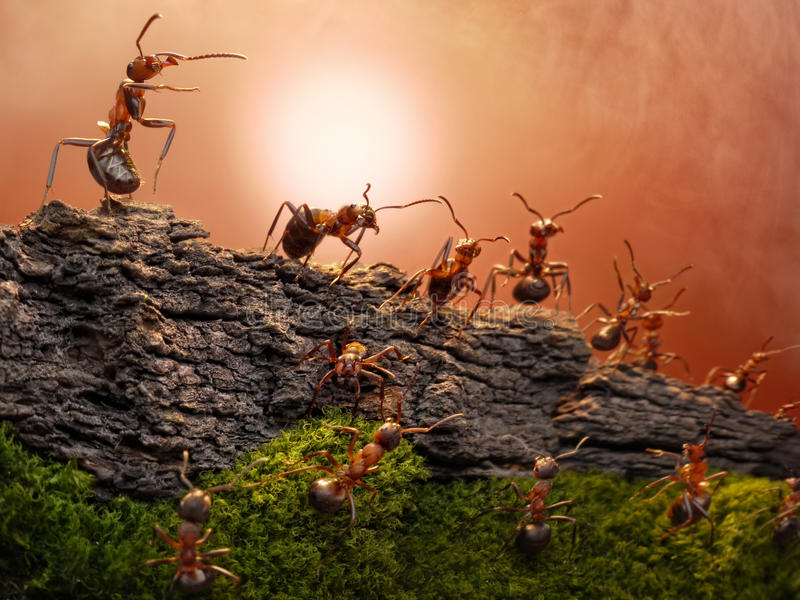 Defence of great wall, ants wars. Federations of anthills formica rufa create outposts to guard border, focused on commander-in chief royalty free stock photo