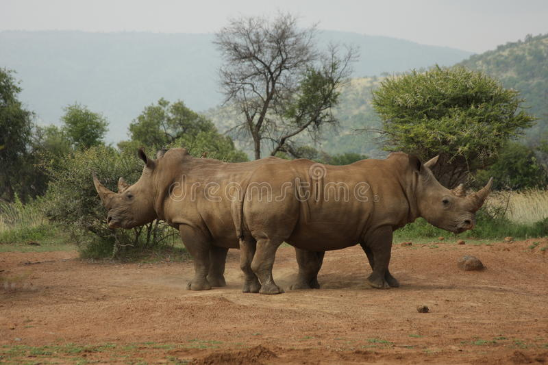 Defending Rhinos. Two defending rhinos - South Africa stock images