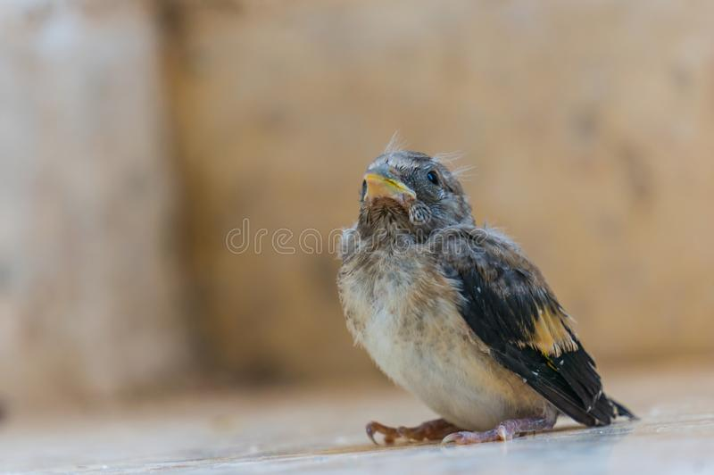 Defenseless sparrow chick close up. Photo with place for text stock photo