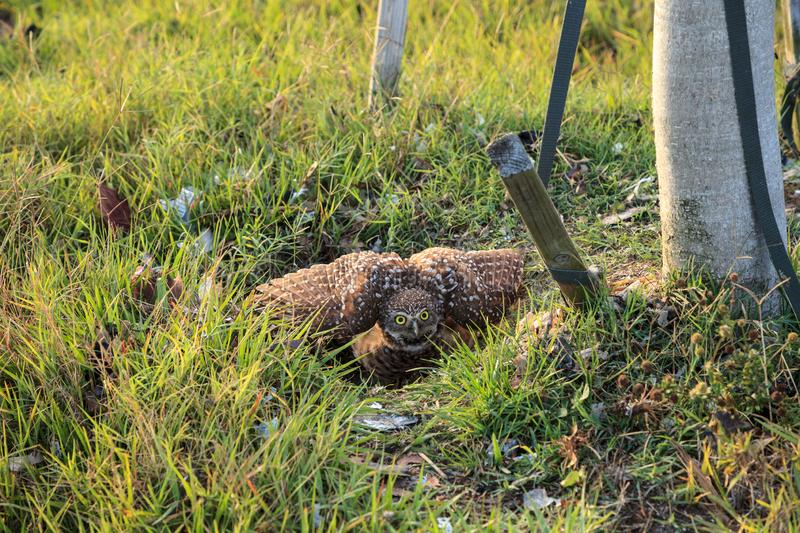 Defensive Adult Burrowing owl Athene cunicularia perched outside its burrow on Marco Island. Florida stock image
