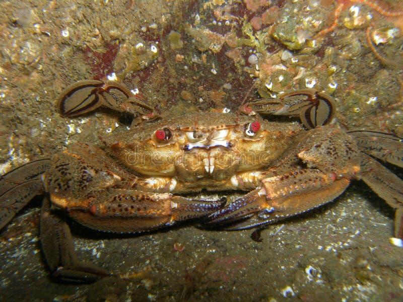Defensive Crab royalty free stock photo