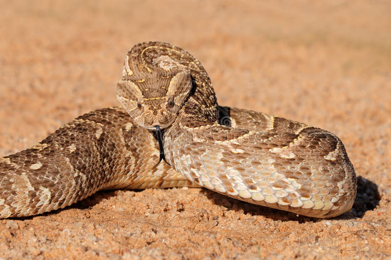 Defensive puff adder royalty free stock photos