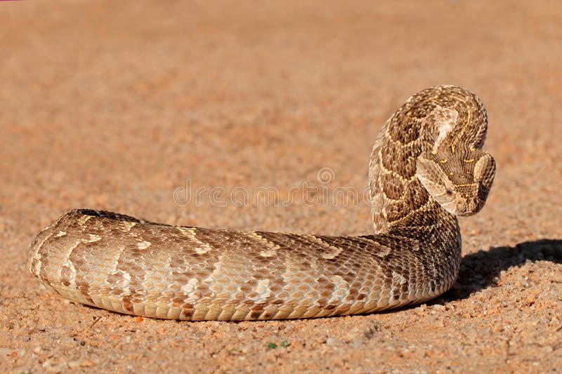 Defensive puff adder royalty free stock photography