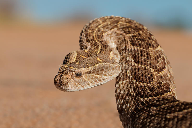 Defensive puff adder stock photography