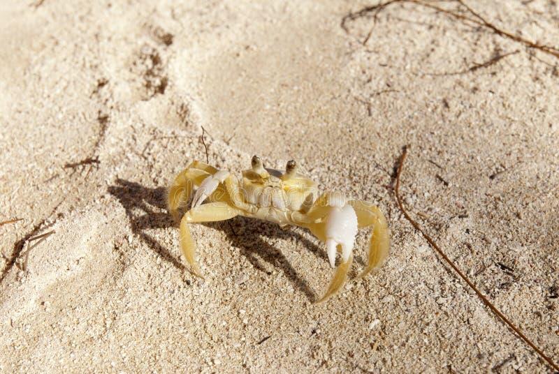 Defesa do Cararibe do caranguejo da areia fotografia de stock