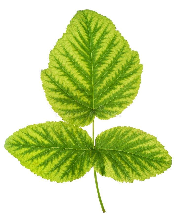 Deficiência de ferro na folha da framboesa, clorose fotos de stock royalty free