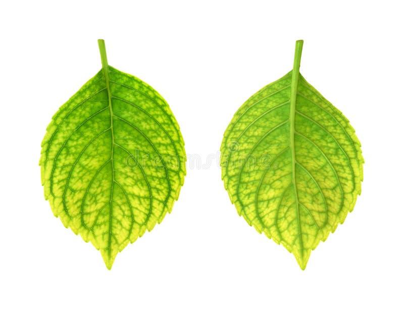 Deficiencia de hierro de la hoja del macrophylla del Hydrangea - ch foto de archivo