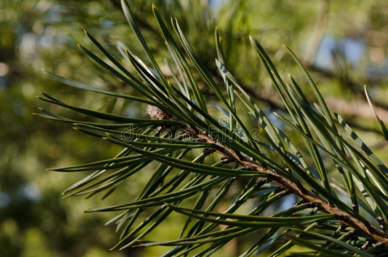 Definição alta do wildnature da planta de Needled imagens de stock royalty free