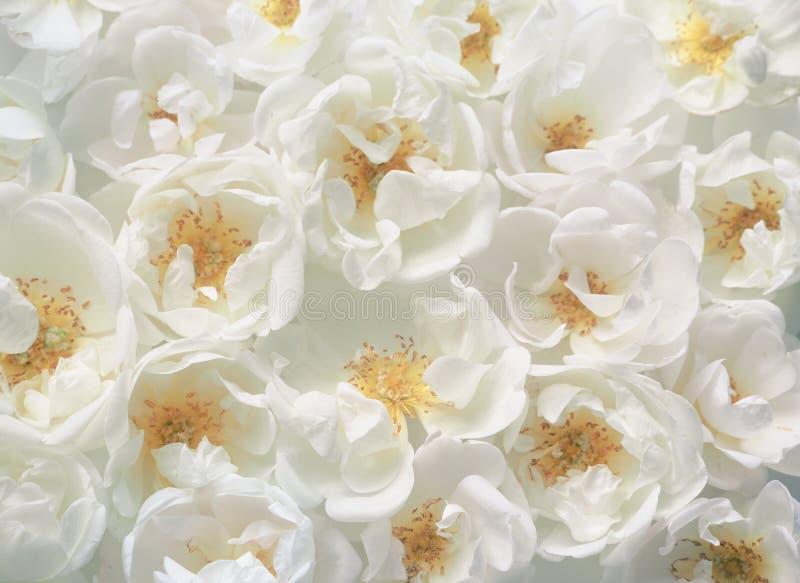 Defocus crema floreale del fondo Fondo del primo piano luminoso di molte rose immagine stock