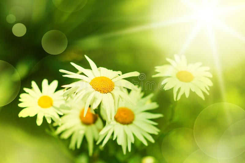 Daisy flower on green meadow stock photo