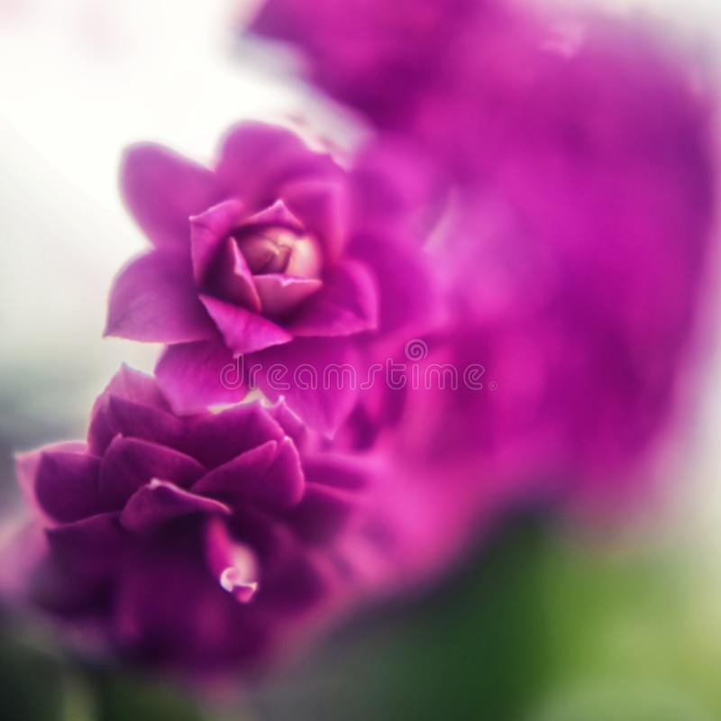 Defocused floral background. Bright purple aloe flowers close up royalty free stock photo