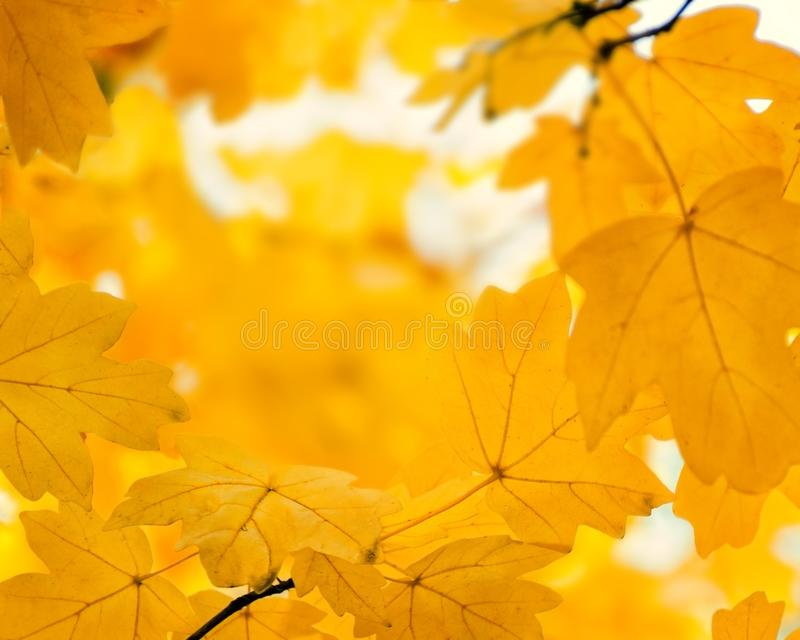 Defocused orange maple leaves, blurred autumn golden background. Empty place for text. Copy space stock images