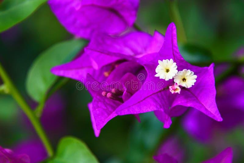 Defocused unscharfer Naturhintergrund mit purpurrotem Bouganvilla blüht Kopieren Sie Platz lizenzfreies stockfoto
