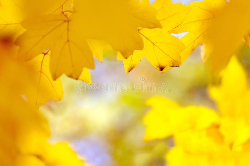 Defocused yellow maple leaves, blurred autumn background. Copy space stock photos