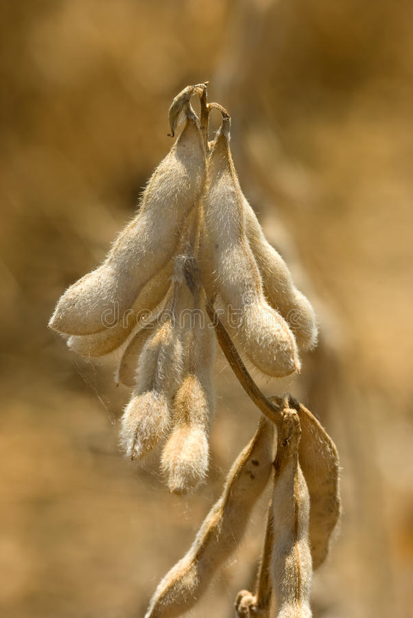 Free Defoliated Soybeans Royalty Free Stock Photos - 20760138