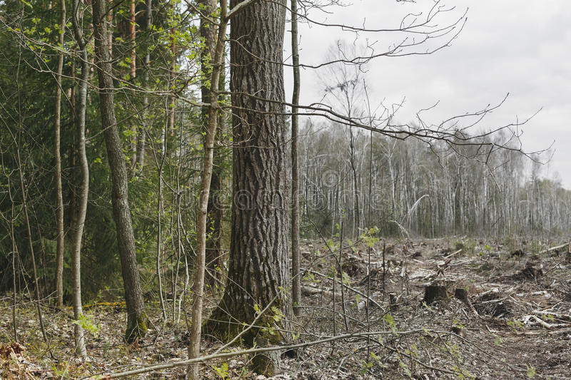 Deforestation, lifeless part of the forest ecology stock image