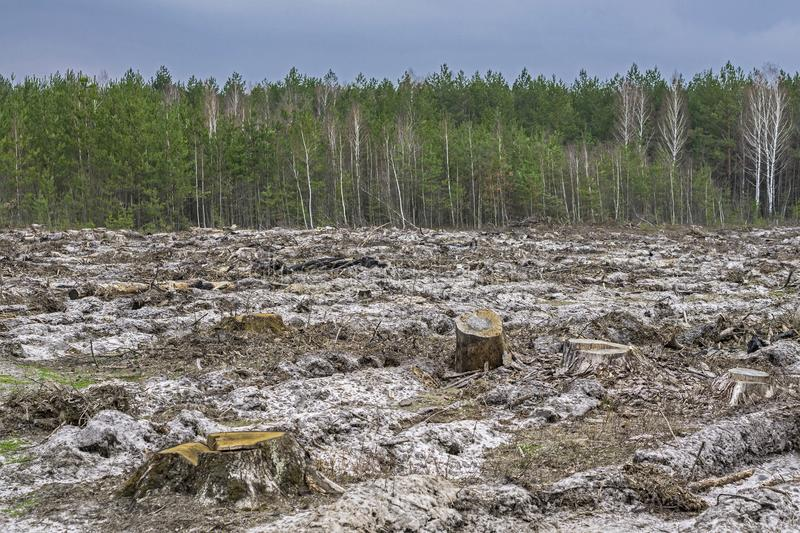 Deforestation. Stump of tree. After cutting forest royalty free stock photography