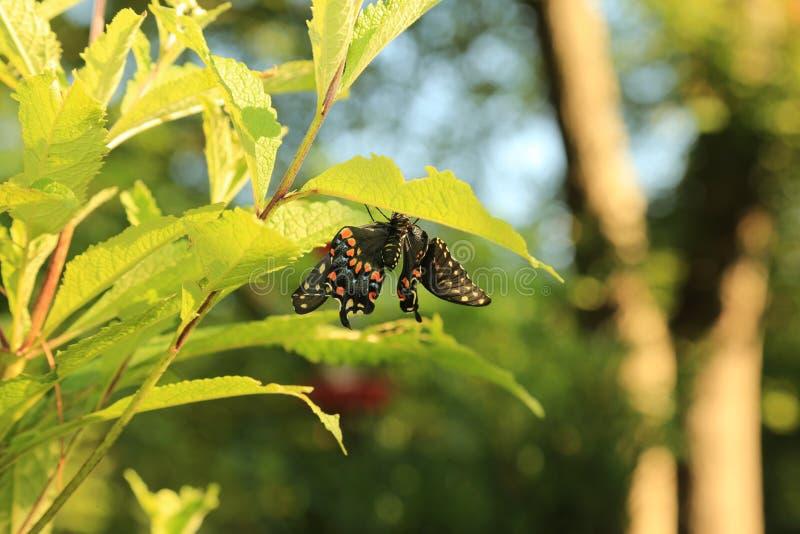 Deformerade svarta Swallowtail på Joe Pye Weed arkivfoton