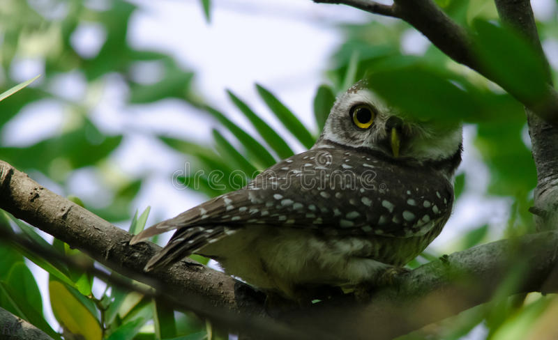 A 360 degree look by an owl royalty free stock images