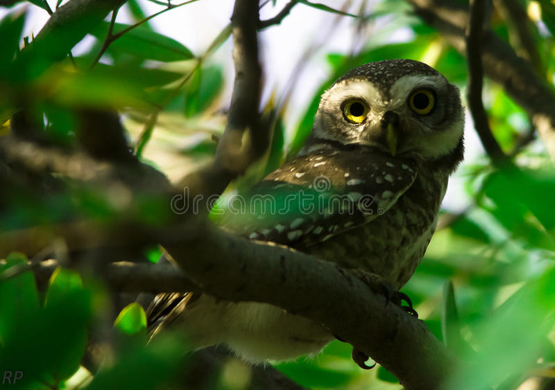 A 360 degree look by an owl royalty free stock photography