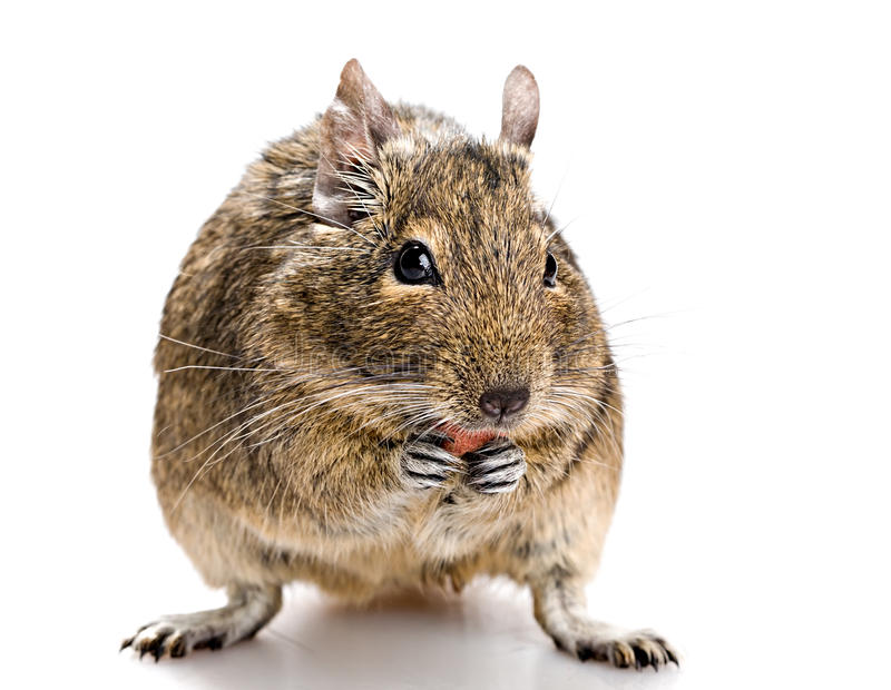 Download Degu image stock. Image du écureuil, animal, isolement - 45360681
