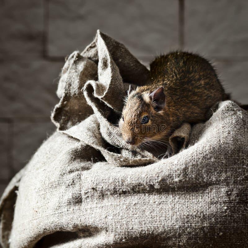 Degu (degus de Octodon) é um roedor pequeno do caviomorph fotos de stock