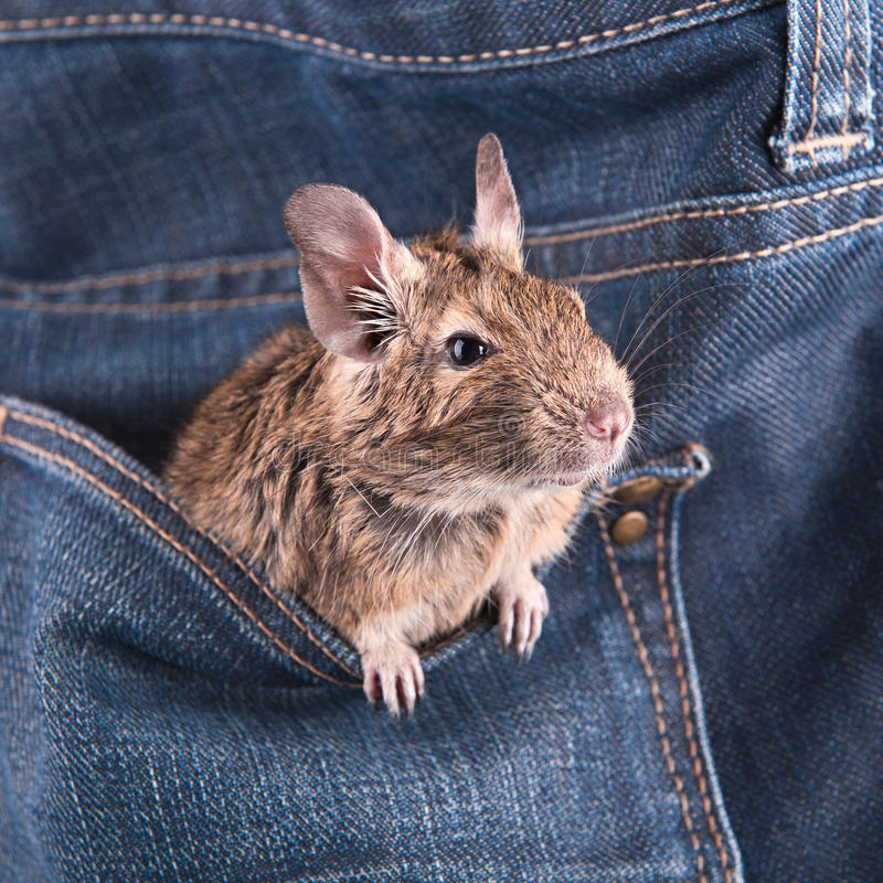 Free Degu In The Pocket Royalty Free Stock Photography - 29875847