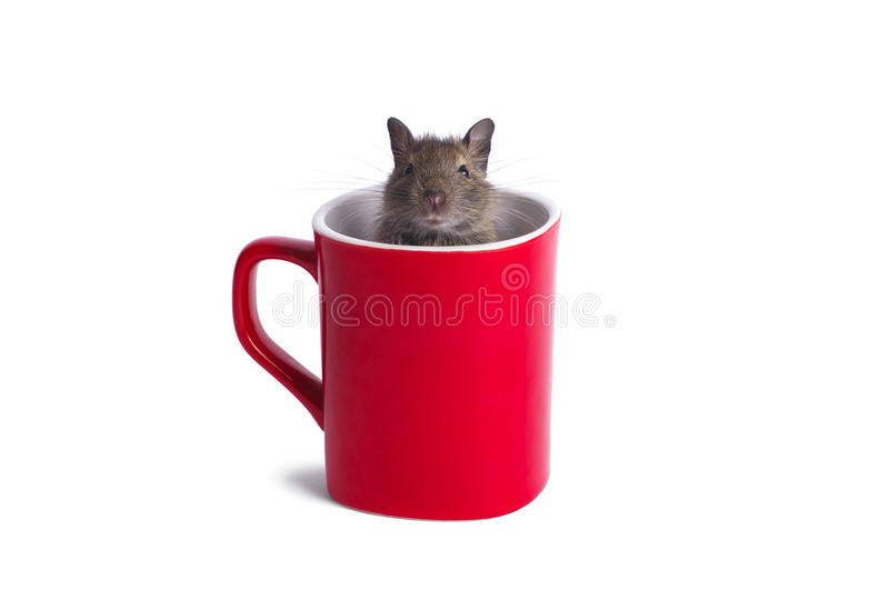 Download Degu in a Mug stock image. Image of isolated, young, inside - 23290105
