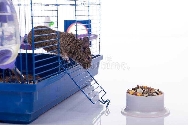 Degu wiewiórka zdjęcia stock