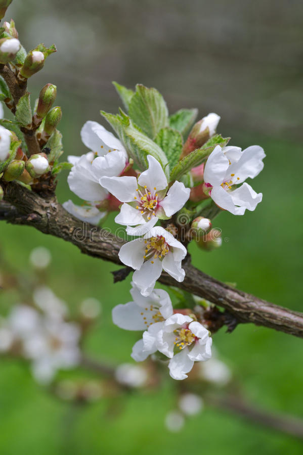 Download Dehiscing On Cherry-tree Flowers Stock Photo - Image: 31252766
