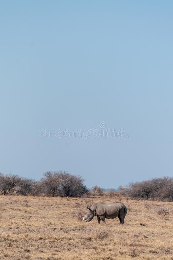 A Dehorned Black Rhinoceros. A solitary dehorned Black Rhinoceros - Diceros bicornis occidentalis- grazing in Etosha National Park, Namibia. Black Rhinos are stock photography