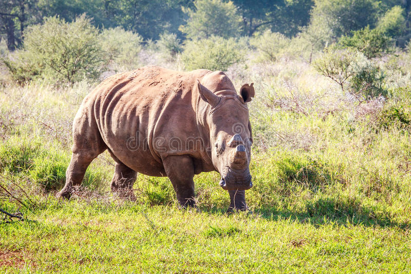 Dehorned White rhino. Dehorned White rhino starring at the camera, South Africa stock image