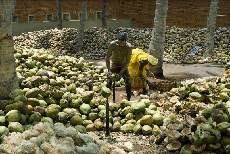Dehusking kokosnöt fotografering för bildbyråer