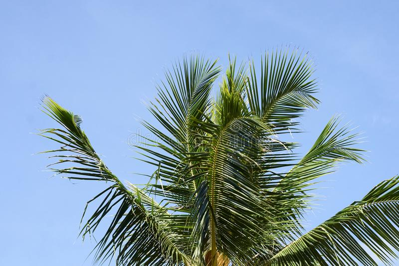 Deixa a palmeira greenery Céu azul imagens de stock royalty free