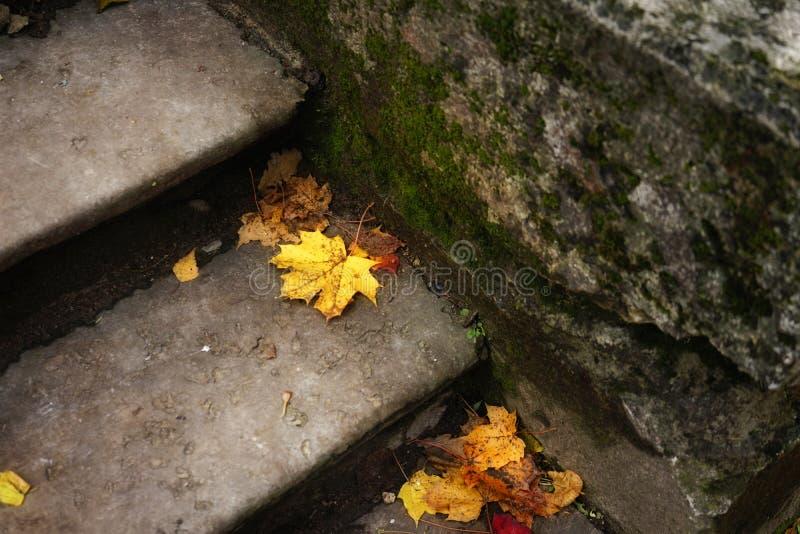 deja el primer de la naturaleza del otoño del musgo de las escaleras del arce al aire libre imagen de archivo