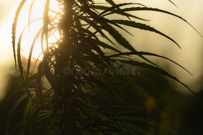 Deja plantas de marijuana fotografía de archivo