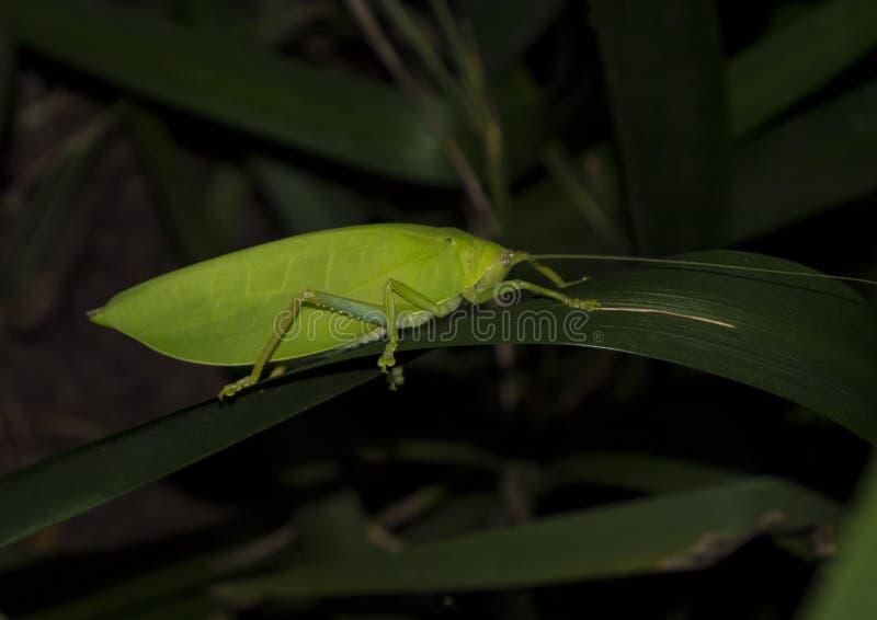 Deje el katydid fotografiado en la noche fotografía de archivo