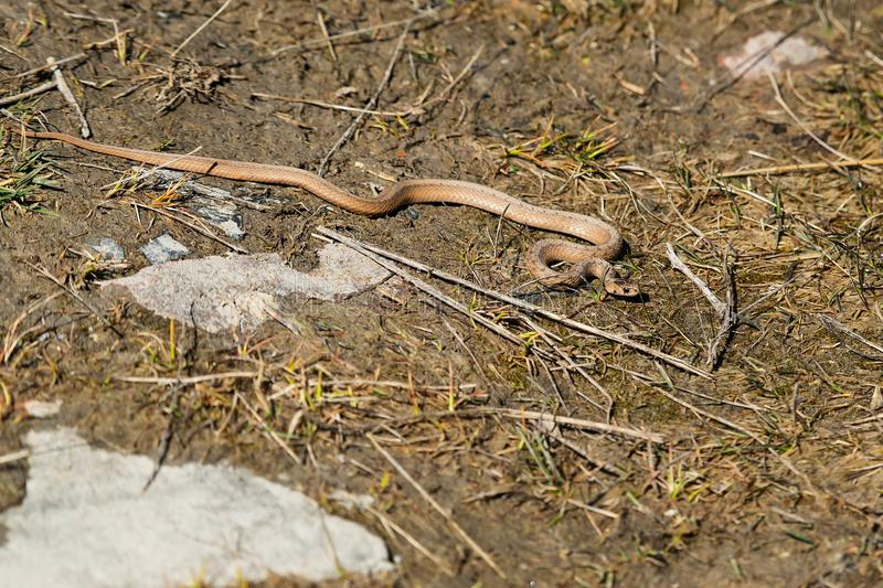 DeKay`s Brown Snake - Storeria dekayi. DeKay`s Brown Snake resting on a muddy path basking in the afternoon sun. Tommy Thompson Park, Toronto, Ontario, Canada royalty free stock image