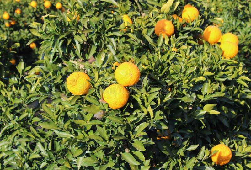 Dekopon owoc na gałąź zdjęcie stock