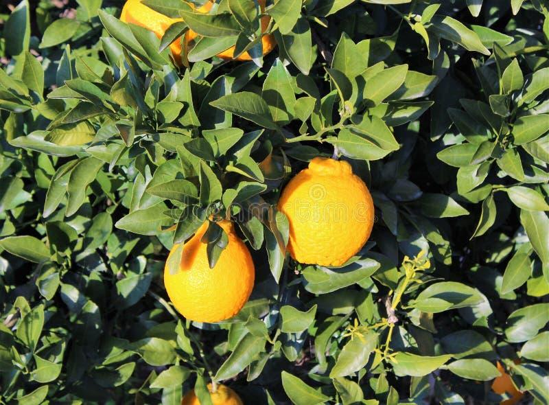 Dekopon owoc na gałąź obraz stock