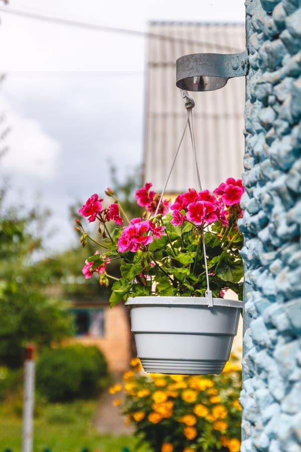 Dekor utanf?r huset, rosa pelargon i en h?ngande blomkruka p? v?ggen av huset royaltyfria foton
