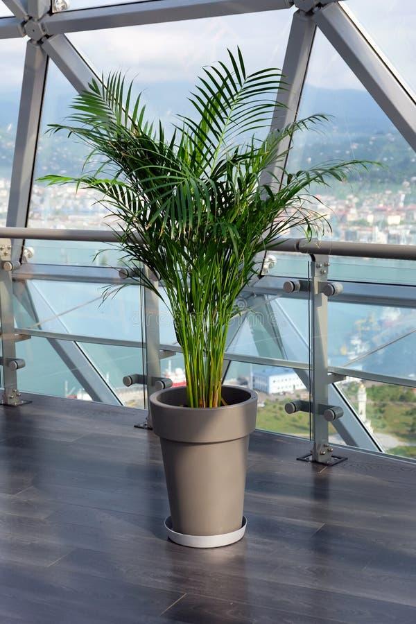 Dekoracyjna areki palma w garnku przeciw okno zdjęcie stock