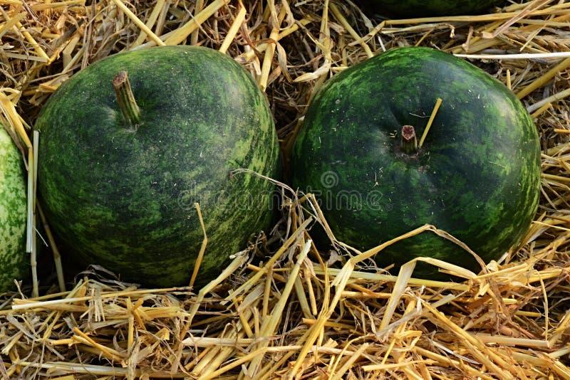 Dekoracyjna butelki gurda, także nazwana Kalabasa, łaciński imię Lagenaria Siceraria varieta Pstrzył jabłka fotografia stock