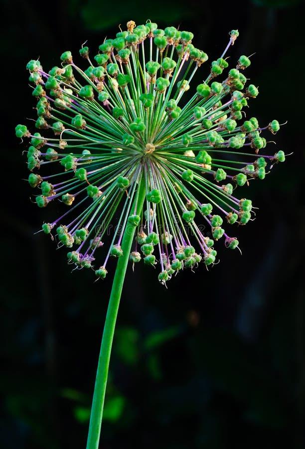 Dekoracyjni cebulkowi kwiatu ziarna strąki zdjęcia royalty free